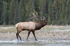 Elk-2019-31.jpg
