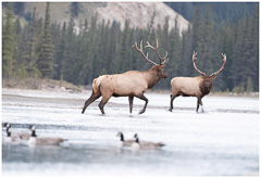 Elk-2019-33.jpg