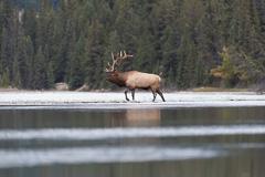 Elk-2019-38.jpg